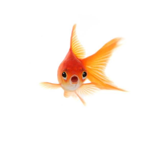 shocked-goldfish-isolated-on-white-background-34fd69