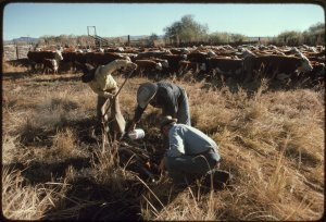 Cowboys Prepare to Brand Cattle