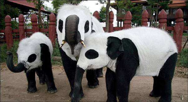 in_disguise_____painted_pachyderms look like pandas